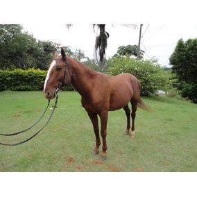 Cavalo Andaluz Puro Sangue Lusitano Domado & Adestrado