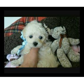 Filhote Lindo De Poodle Toy Fucinho Bem Fino