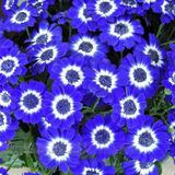 Margarita Azul Exotica 50 Semillas Genetica Especial Rosa