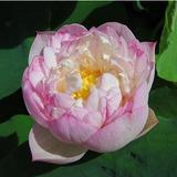 Semillas Flor De Loto Rosa Dorada Excelente Estanque