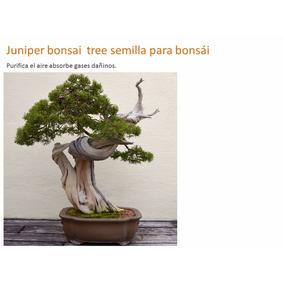 10 Semillas Juniper Chino Bonsai Tree Semilla Para Bonsái