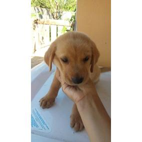 Cachorros Labrador Retriever Mes Y 20 Dias