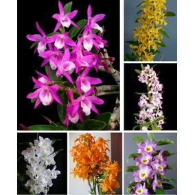 Kit De 6 Mudas De Orquidea Dendrobium Adulta Sortidas