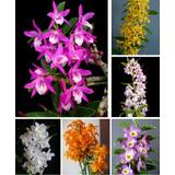 Kit Com 10 Mudas De Orquidea Dendrobium Adulta Sortidas