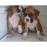 Boxer Cachorros A Meses Sin Intereses¡¡