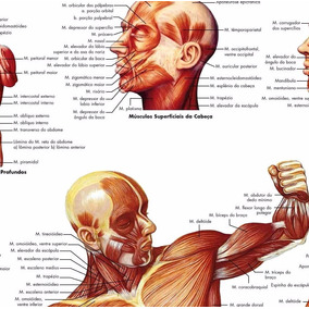 Poster Mapa Anatomia Muscular Foto Hd 75x100cm Corpo Humano