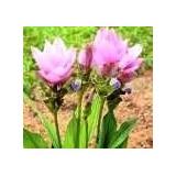 Curcuma Ou Tulipa De Sião - Lilás - Bulbos Frescos!!!