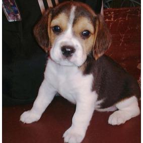 Beagle 13 Pulgadas --envios