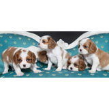Beautiful King Charles Spaniel Pups En Venta