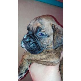 Cachorro Boxer Atigrado Y Bayos Puros