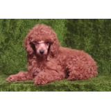 Unico Y Lindo Cachorrito French Poodle Rojo Vino Mini