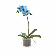 Orquidea Azul Natural - Lindíssima - Presente Criativo Top