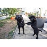 Cachorros Labrador Retriever Están Buscando Un Nuevo Hogar
