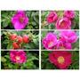 Rosa Japonesa Rosa Rugosa Ramanas Flor Semillas P/ Plantas
