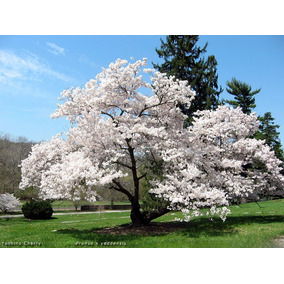 Cerejeira Sakura Branca Sementes Frutas Para Mudas E Bonsai