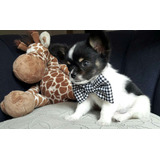 Cachorros Chihuahua De Raza Pura