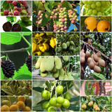 Arboles Frutales Diferentes Especies Olivo Moras Yaca Etc