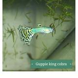 Pareja De Guppie King Cobra