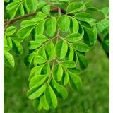 Plantin De Moringa Oleifera + Seguro De Viaje Al Interior