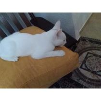 Gatos Angora/siameses