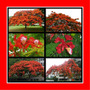 Flamboyant Vermelho Delonix Regia Flor Sementes Para Mudas