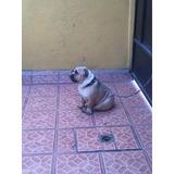 Cachorro Bulldog Inglés 7 Meses De Edad