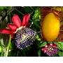 2 Passiflora Pasionaria-maracuya De Fruto Z/mataderos