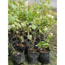 Planta De Uva, Diferentes Variedades, Las Mejores!