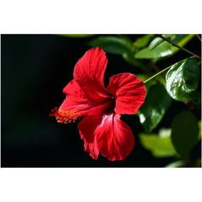 Muda - Hibisco Vermelho ( Hibiscus Rosa-nisensis ) 15 A 30cm