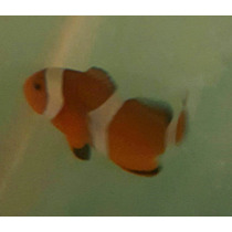 Ocellaris Payaso. Nemo