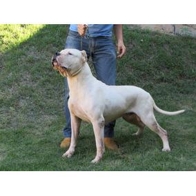 Filhotes De Dogo Argentino Macho