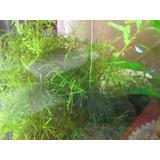 Planta De Acuario Musgo De Java Vesicularia Dubyana