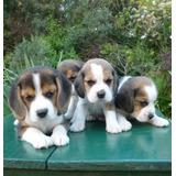Espectaculares Beagles De Cabaña Scaligers