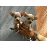 Hermosos Cachorris Chihuahua