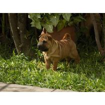 Cachorras Shar Pei Con Papeles (pedigre F.c.a.)