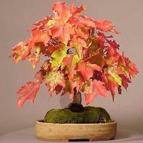 25 Sementes Acer Sacchareum Amarelo - Árvore Bonsai