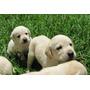 Labradores Dorados Machos Y Hembras - 12 Pagos Con Tarjeta