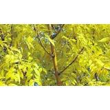 Árbol Fresno Dorado 4º Tamaño 3.50mts Terrón, Ezeiza-envíos