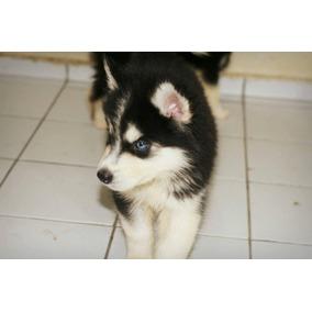 Husky Siberiano Com Pedigree