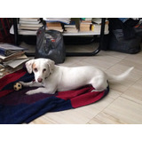 Hermosa Cachorra Cruza De Basset Hound En Adopción