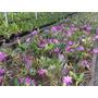 Cattleya Walkeriana Tipo - Lote 5 Plantas Adultas Lilases