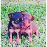 Cachorros Pincher Miniatura Hembras Y Machos