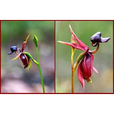Oferta 50 Semillas Orquideas Flor De Pato