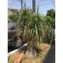 Planta Pata De Elefante 2.8mts Altura, Tres Brazos