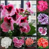 20 Sementes Kit Gerânio Planta Flores Bonsai #0ipr