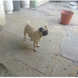 Hermosa Pug Hembra 100%fertil 1 Año 8 Meses