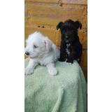 Schnauzer Snauzer Cachorros Hermosos Blanco Gris Negro Puros