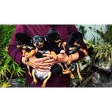 Ultimos Cachorros Pinscher Miniatura Bicolor Con Vacunas Al