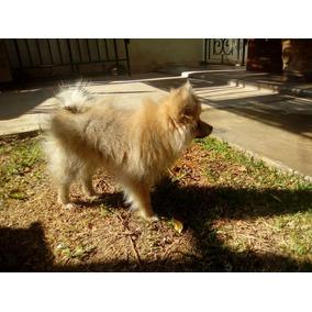 Cachorra Pomerian, 4 Meses Se Vende Por Falta De Tiempo