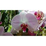 Orquídeas Phalaenopsis Naturales Para Regalo